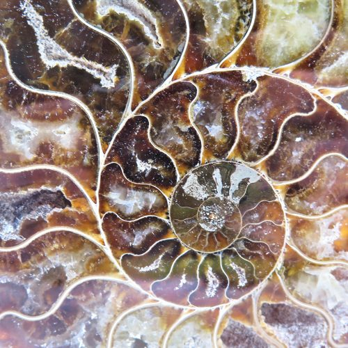 paire d'ammonites DZ Galerie art Nice focus